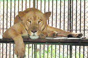Three decade wait ends, lioness gives birth to 4 cubs at Lucknowzoo