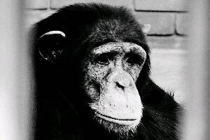 Chimps's days as lab subjects may soon be over