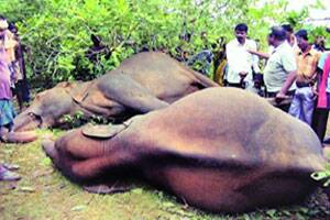 Company wires kill elephants,Orissa wants Central funds to fix them