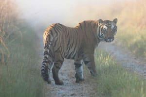Maharashtra okays shooting tiger poachers onsight