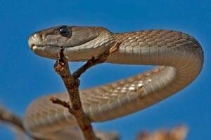 Deadly snake venom can be a 'better painkiller' than morphine