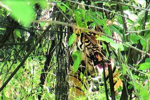 Ranthambore's T-24 under watch after killing forest official,blamed for two moredeaths