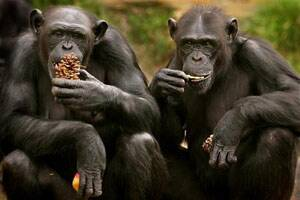 Chimps 'solve puzzles just for fun' like humans