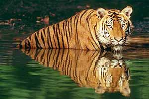 Tiger population rises from 268 in 1973 to 1,468 at present