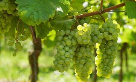 Grapes protect organs from damage caused by metabolic syndrome