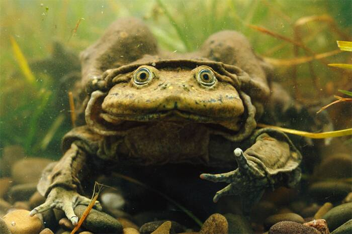 titicacawaterfrog