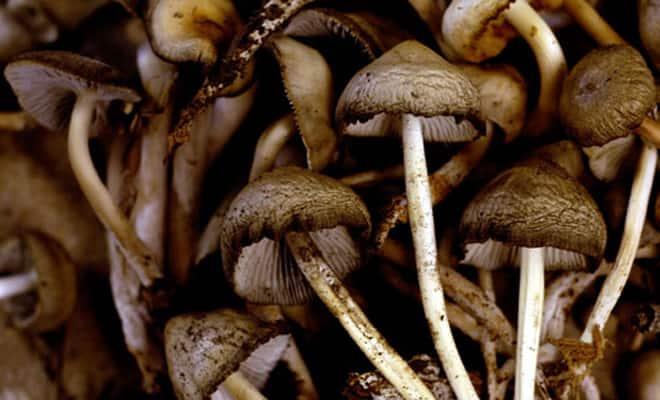 Image result for Kodaikanal Mushroom