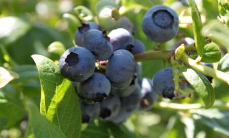 Eating blueberries may lower diabetes risk