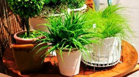 houseplants, plants, indoor air pollution, combat pollution, go green, gerbera daisy, spider plant. bamboo palm, boston fern, areca palm, aloe vera, indoor plants, indian express, indian express news