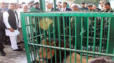 On New Year day, the CM went to meet the lions and, as he stepped near the cage of one, it roared.  (IE Photo)