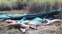 Mystery deaths in Bilaspur zoo: 22 cheetals, all of themfemale