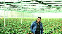 Rahul Gupta stands amid gerbera plants in his poly house in Jalandhar. (Express)