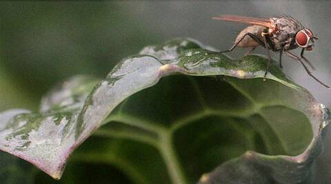 Study found that unrelated male flies compete more fiercely for female attention than related flies. (AP)