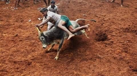Participants trying to tame a bull during Jallikattu festival, organised as part of the Pongal festival, at Alanganallur near Madurai on Thursday. (PTI)
