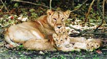 After Gir lions, wild ass to feature in Khushboo Gujarat Ki adcampaign