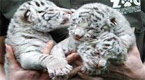 Five white tiger cubs die in Delhi zoo, a sixth fights for life