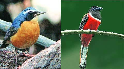 Indian Blue Robin (Left) and Malabar Trogon, birds that are usually difficult to sight, were spotted in Karjat.