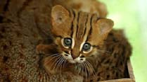 SGNP plans fancy enclosures for its rusty-spotted cats, to seek Delhi nod