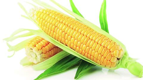 In spring, maize will consume a lot of water, and conservation of water is the reason for diversifying from paddy in the first place.