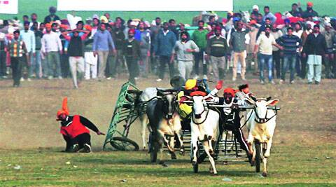During the bullock cart race at the 78th Kila Raipur Sports Festival at Kila Raipur village in Ludhiana on Friday.