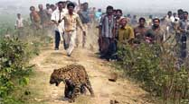 In 18 months, a Surat village farm caught 11 leopards