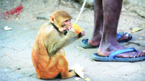 Bread winner: A monkey enjoys a pav on a Mumbai street. Amit Chakravarty