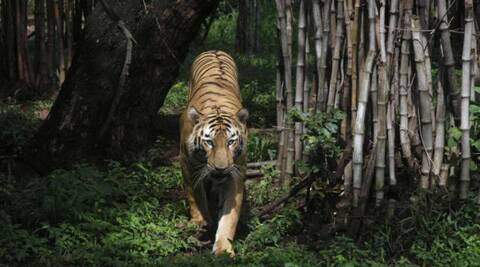 India's tigers are  endangered because of rampant poaching and shrinking habitat. (AP)