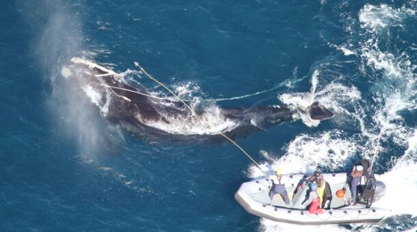 An entangled 4-year-old Right whale found off the Georgia Coast