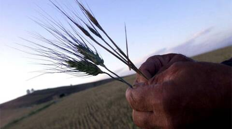 Punjab is one of the states where filed trials of GM crops have been proposed. (Reuters)