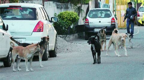 Stray dogs in Kitchlu Nagar, Ludhiana. (Gurmeet Singh)