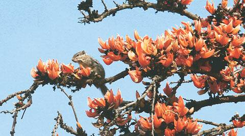 The most visible victim of onslaught is the palash tree, which is hacked to almost skeletal remains by local residents, who sell these flowers to eager visitors looking for their two-pence worth of Tagore memorabilia.