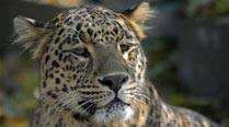 Leopard strays into residential colony of Junagadh, rescued