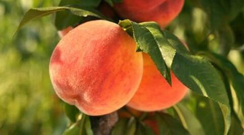Two to three peaches a day can help slow breast cancer. (Thinkstock)