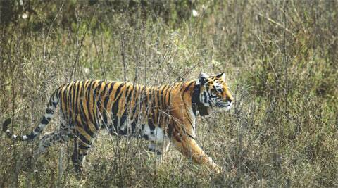 According to 2010 data, tiger population in the country is estimated to be 1,706.