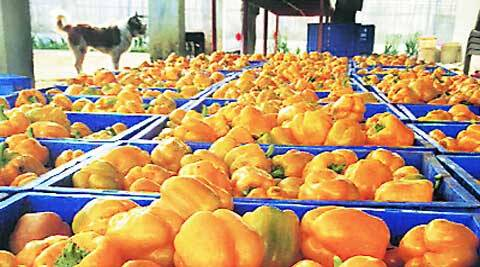 Vegetables like coloured capsicum (above) are in high demand.
