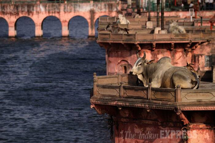 Cows sitting at an empty ghat on the banks of the Saryu river in Ayodhya. (IE Photo: Tashi Tobgyal)