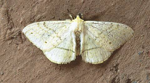 Whatever the reason, remember that moths are not the only creatures that dance dementedly around bright disco lights…