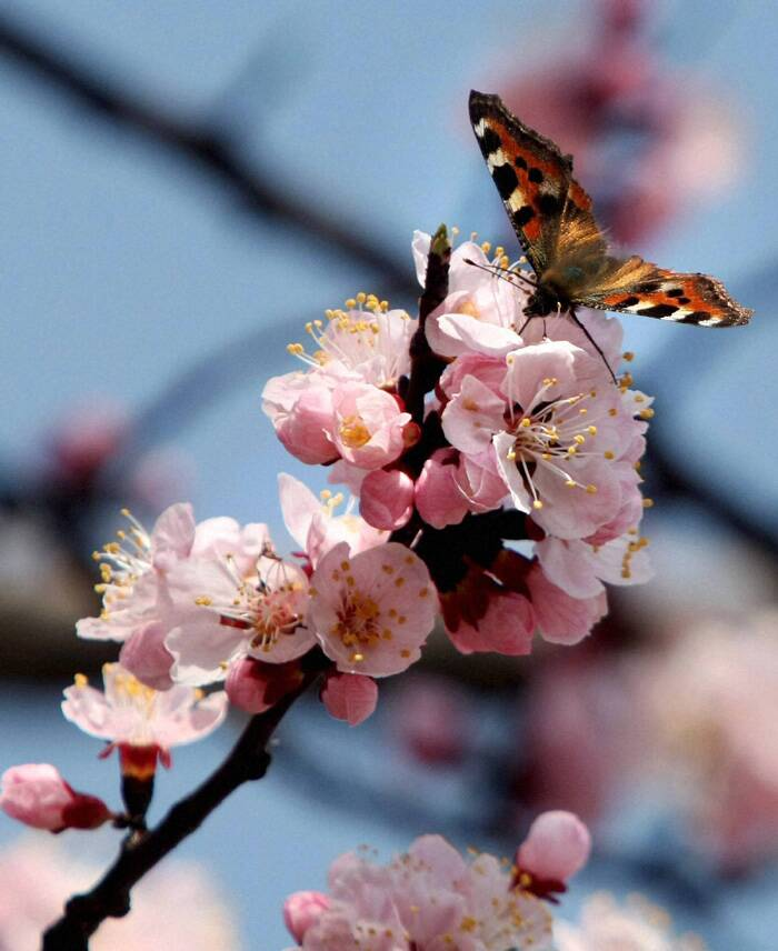 A butterfly collects nectar from an almond flower. (PTI)