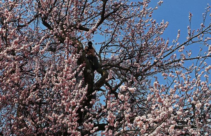 A photographer takes a picture atop an almond tree at Badamwari in Srinagar. (PTI)
