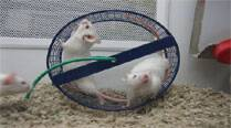 Young mice's blood recharges old mice'sbrain