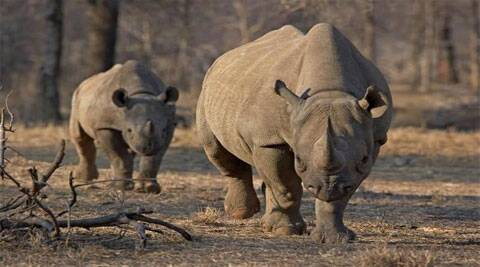 As many as 22 rhinos have been killed by poachers in Assam in 2014, while forest guards have gunned down 20 poachers in the past eight months, he said. As many as 24 poachers have been apprehended since January.