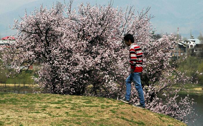 A boy walks past an almond tree at Badamwari. (PTI)