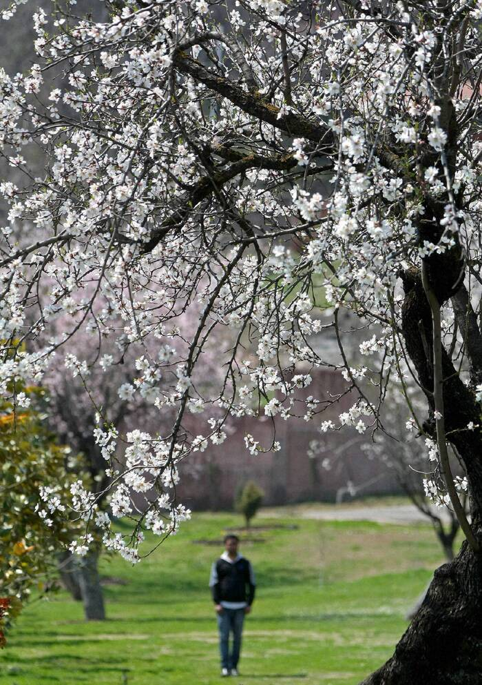 The flowers have started blooming late due to the extended winter in the Valley, delaying the onset of spring. (PTI)