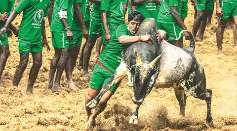 The SC ban on jallikattu touches off a firestorm in Tamil Nadu, as patrons refuse to throw in the towel Pic: Balakumar Somu, jallikattu.in