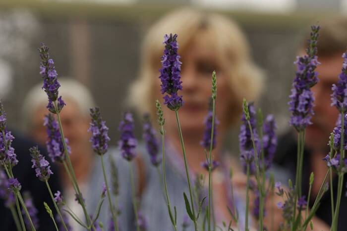 A Plant of the Year 2014 shortlist contender, Lavandula X Intermedia 'Heavenly Scent'  on display at the Chelsea Flower Show. (Source: AP)