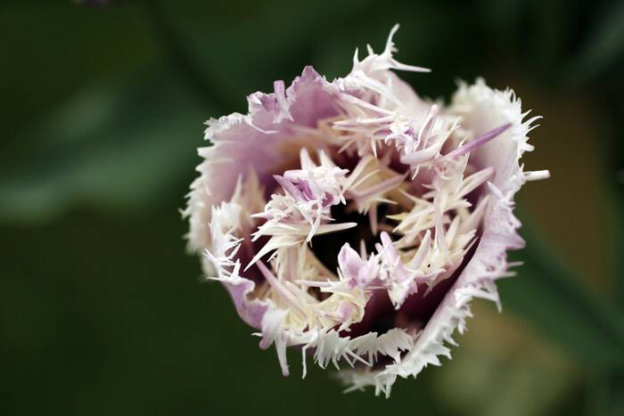 A Tulip 'Cummins' plant at the Chelsea Flower Show. (Source: Reuters)