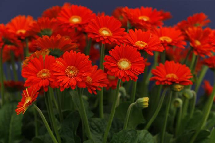 A Plant of the Year 2014 shortlist contender, Gerbera, or 'Sweet Glow' on display at the Chelsea Flower Show. (Source: AP)