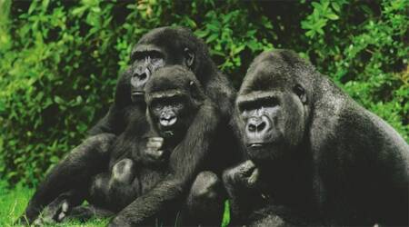 Gorillas, in general, have shrewd, gentle eyes shimmering with good humour under those massive brows and, despite their bulk, can tickle an infant till it's giggling hysterically.