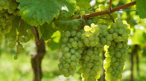 Grape consumption also protected retinal function in an oxidative stress model of macular degeneration.