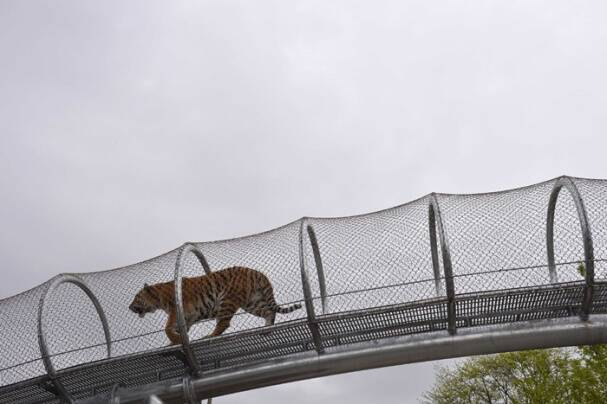 Tigers take to the catwalk at Philadelphia Zoo